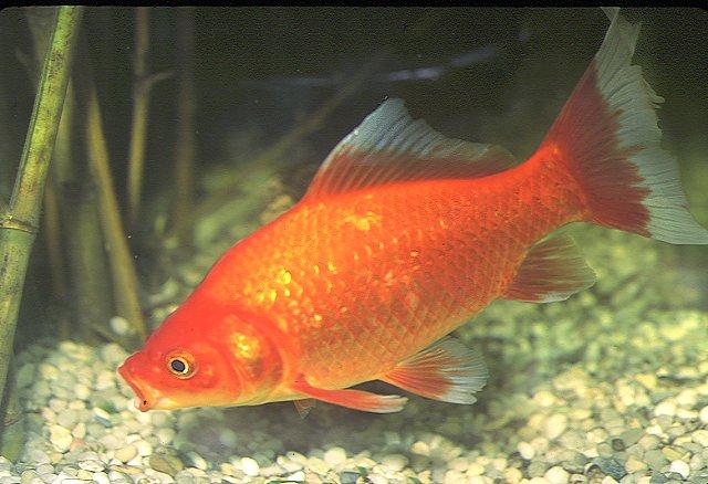 Gu a para armar un acuario con peces de agua dulce taringa for Peces goldfish tipos