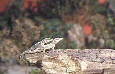 Juveniles de salamanquesa común (8035 bytes)